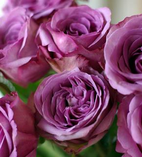 <h2><br/>幾重にも巻いた花びら、やや青みがかった紫色が特徴的な大輪バラ。シルバーブルーの葉物と組合わせると落ち着きのあるブーケになります。</h2>