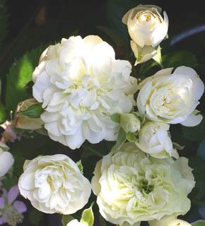 <h2><br/>花径2~3cmの小ささが愛らしいスプレー咲きのバラ。咲ききると小さなダリアのような花型で、野花の趣があります。ナチュラルなブーケに。</h2>