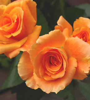<h2><br/>ゆるやかに、そして大きく開く香りの良い大輪バラ。シャーベットオレンジ色の大きな花が強いインパクトを与えます。メイン向きのお花です。</h2>