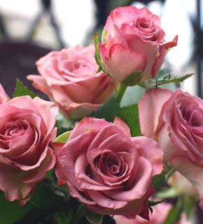 <h2><br/>紫色をおびたシルバーピンク。ふちどりがやや濃いピンク色をしているのが特徴の大きめのバラです。メインのお花にもなります。</h2>