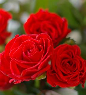 <h2><br/>陽の光をいっぱいに浴びて真っ赤に熟したイタリアントマトのような、きれいで明るい赤。丸みをおびた花びら。陽気で元気なブーケにどうぞ!</h2>
