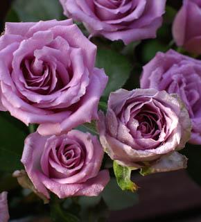<h2><br/>ラベンダー色の大輪バラ。アイボリー・ブルー・ピンクなどと相性がよく、黒い実ものをアクセントにするとオーセンティックな仕上がりになります。</h2>