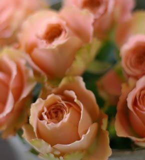 <h2><br/>サーモンピンクの大輪バラ。外側にうっすら緑色を帯び、しっかりと大きく開く種類です。主役のお花として充分な、めりはりが出るバラです。</h2>