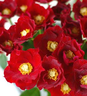 <h2><br/>真っ赤な花びらと黄色の花芯とのコントラストが色鮮やか。小さいながらも密集して咲くスプレータイプなので、華やかさもきわだちます。最高の脇役になるバラです。</h2>