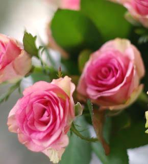 <h2><br/>コロンと丸みをおびたフォルム、濃いピンクのふちどりが印象的。花びらの外側が白いため、ピンクがきわだって見える。華やかなピンクがお好きな方におすすめしたいバラです。</h2>