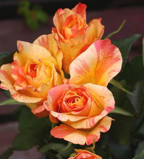<h2><br/>オレンジ色+黄色の混色は甘くほろ苦いジャムのよう?一度見たら忘れられないバラです。明るくて元気なブーケができそうなお花です。</h2>