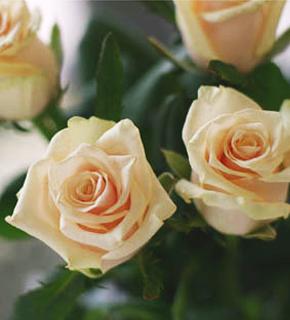 <h2><br/>ソフトピンク、丸みをおびた花びらがスィートなイメージをあたえる中輪バラ。ブーケの主役にも脇役にもなる中間色のお花です。</h2>