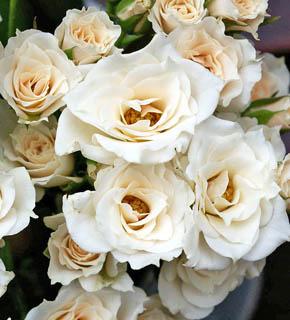 <h2><br/>暖かみのあるアイボリー色のスプレー咲き。小輪なので、添え花に向きますが、全体をしっとりと落ち着いた色味に包み込んでくれます。</h2>
