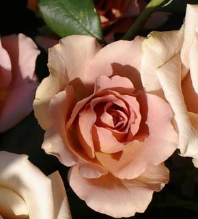 <h2><br/>フリルのように軽やかな花びら、アンティーク調の色と形が人気の品種。花の芯が見えるくらい咲ききった姿も非常に雰囲気のある茶色のバラ。</h2>