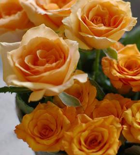 <h2><br/>シャーベットを思わせるアプリコットオレンジの華やかな大輪バラ。ひらひらと咲く。<br /><strong>ミルバ(下)</strong><br />ひときわ濃いオレンジ色のしっかりとした中輪バラ。</h2>