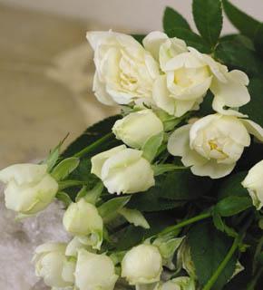 <h2><br/>清楚ではかなげな咲き方をするスプレーバラ。しなやかな茎のラインをいかしたブーケに仕立てるといっそう美しさを引き出せることでしょう。</h2>