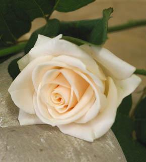 <h2><br/>テンダーピンクの優しい色合いが、控えめな甘さをかもしだしてくれる。色の組合せは幅が広く、紫色系や黒っぽいお花との相性も良い。</h2>