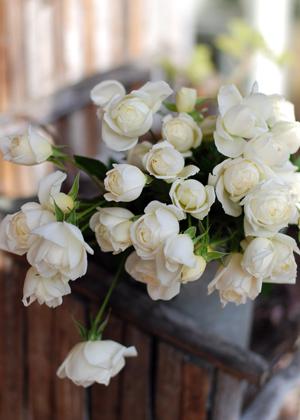 <h2><br/>オールドローズのように、丸くころっと咲く中輪タイプ。シャンパンホワイトの美しい花びらとカップ咲きが人気のバラです。</h2>